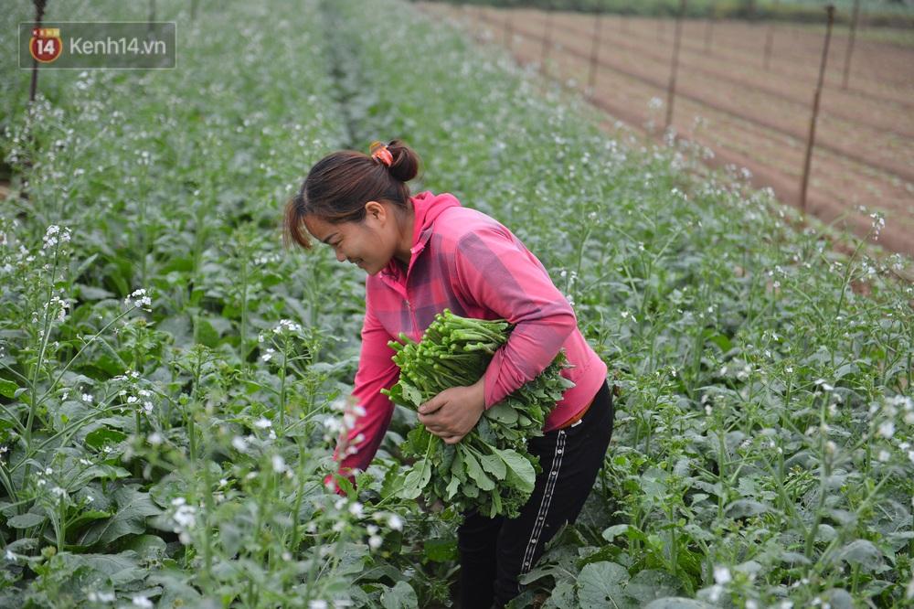 Ảnh: Nông dân Mê Linh nuốt nước mắt, nhổ bỏ hàng trăm tấn củ cải vì không tiêu thụ được - Ảnh 9.