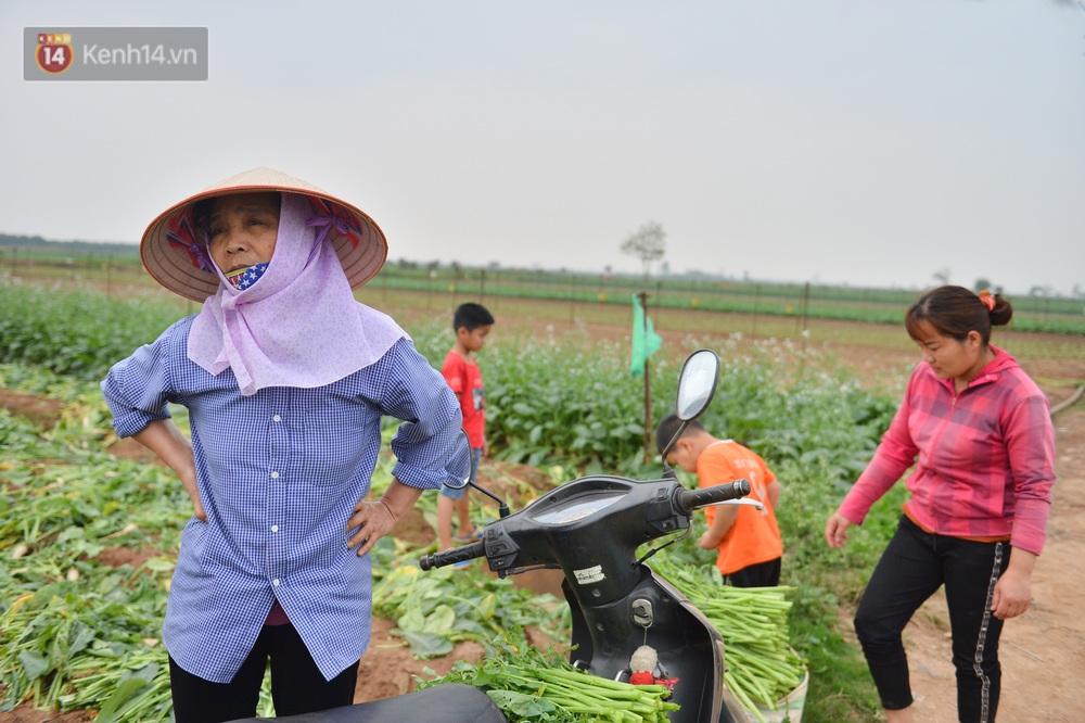 Ảnh: Nông dân Mê Linh nuốt nước mắt, nhổ bỏ hàng trăm tấn củ cải vì không tiêu thụ được - Ảnh 10.