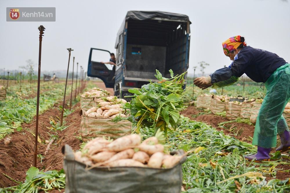 Ảnh: Nông dân Mê Linh nuốt nước mắt, nhổ bỏ hàng trăm tấn củ cải vì không tiêu thụ được - Ảnh 7.