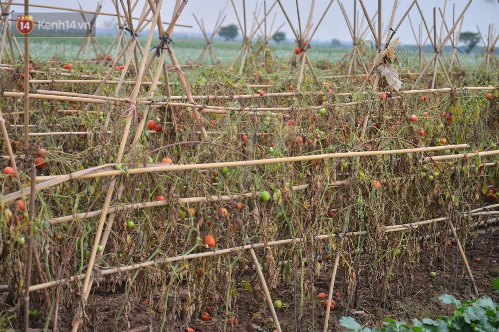 Ảnh: Nông dân Mê Linh nuốt nước mắt, nhổ bỏ hàng trăm tấn củ cải vì không tiêu thụ được - Ảnh 12.