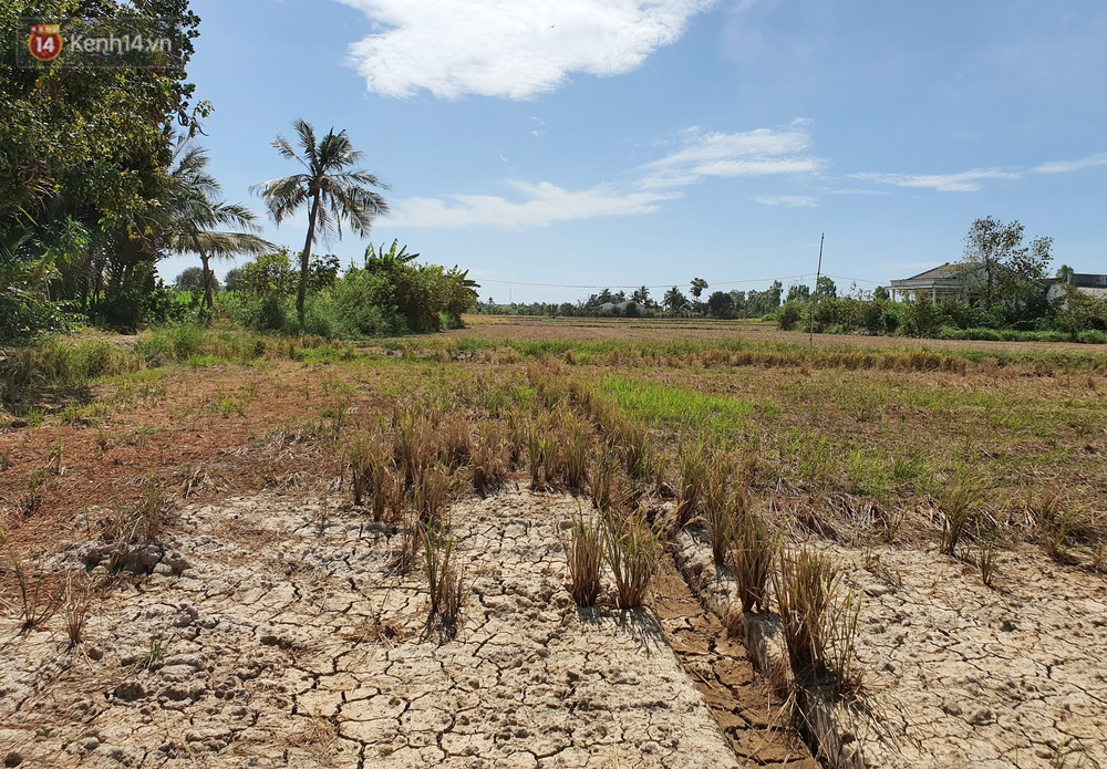 Người miền Tây bên những cánh đồng nứt toác vì hạn mặn: Lúa trồng xuống là chết, nước sông mặn đắng cả rồi!  - Ảnh 1.