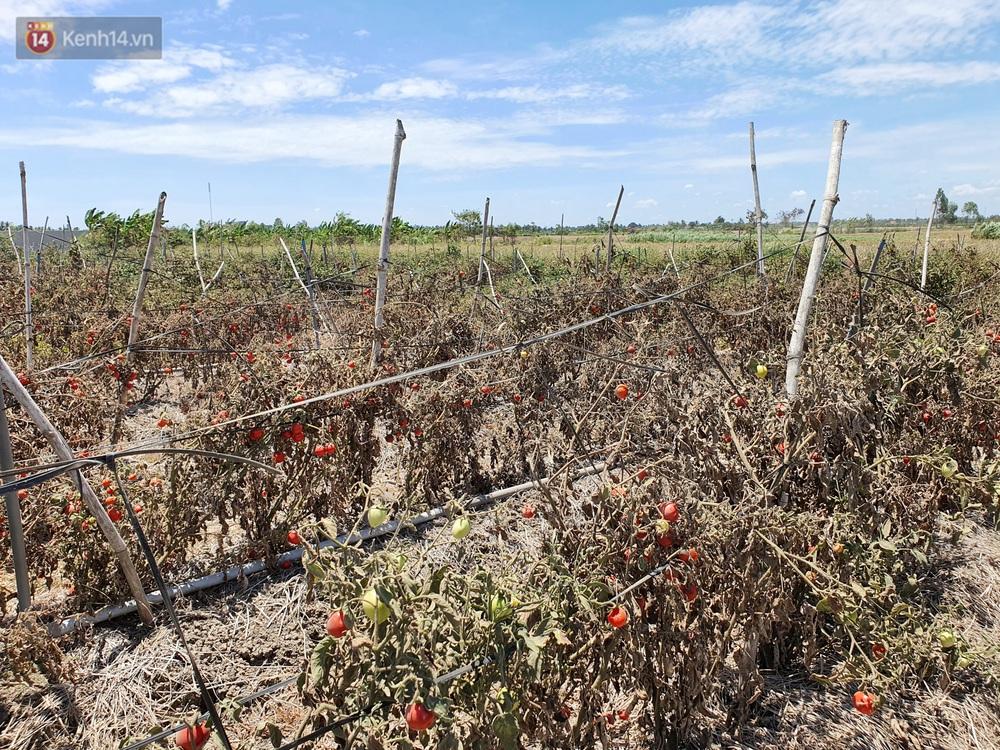 Người miền Tây bên những cánh đồng nứt toác vì hạn mặn: Lúa trồng xuống là chết, nước sông mặn đắng cả rồi!  - Ảnh 12.