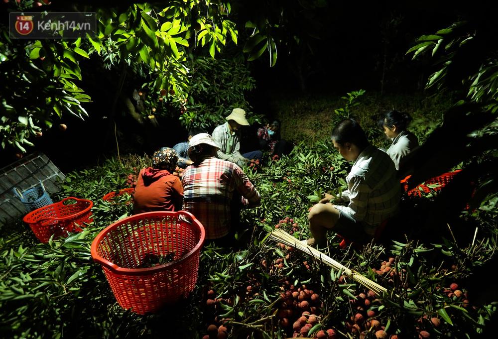 Ảnh: Người dân Bắc Giang thắp đèn từ 2 giờ sáng, đi thu hoạch vải thiều xuyên đêm - Ảnh 9.