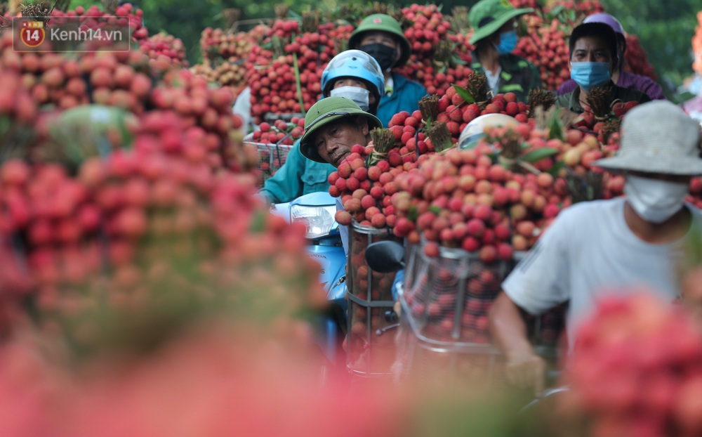 Ảnh: Người dân Bắc Giang thắp đèn từ 2 giờ sáng, đi thu hoạch vải thiều xuyên đêm - Ảnh 12.