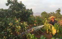 Nắng hạn kéo dài, nông dân Gia Lai làm việc xuyên Tết trên vườn cà phê