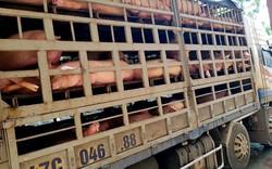 Bắt giữ 4 xe ô tô chở lợn nhiễm dịch tả Châu Phi trên đường tiêu thụ