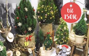 Sắm cây tùng đón Giáng Sinh cho nhà thêm lung linh chỉ từ 150K