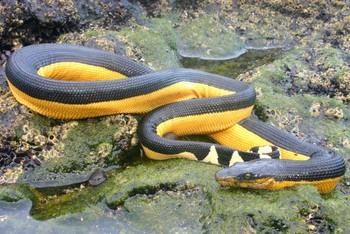Điều kỳ dị này đã giúp rắn biển không uống nước 6 - 7 tháng vẫn sống nhăn răng - Ảnh 2.