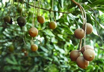Loại hạt đắt đỏ được mệnh danh là hoàng hậu quả khô xuất hiện trong Tết mấy năm nay có gì đặc biệt? - Ảnh 2.