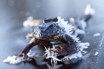 Đây chính là loài sinh vật máu lạnh chết cứng trong mùa đông, sống dậy vào mùa xuân - Ảnh 3.
