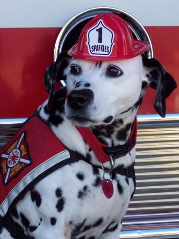 Bạn có tin không khi những chú chó đốm lại là lực lượng cứu hỏa cực đặc biệt của Anh và Mỹ - Ảnh 5.