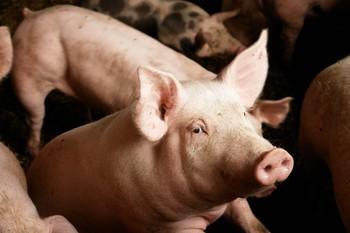 Con lợn này chỉ có 99,9999991% là gene của nó và đang gánh vác tương lai nhân loại trên vai - Ảnh 2.