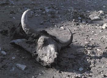 Các nhà khảo cổ làm gì khi phát hiện ra xác ướp bò rừng 36.000 năm tuổi? Họ đã... làm thử món bò hầm? - Ảnh 2.