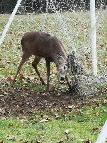 Chuyện động vật kẹt trong lưới sân bóng: tưởng đơn giản mà hậu quả nghiêm trọng không ngờ - Ảnh 1.
