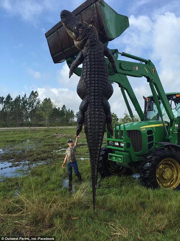 Can tội xơi tái cả con bò, cá sấu khổng lồ bị tóm gọn - Ảnh 2.