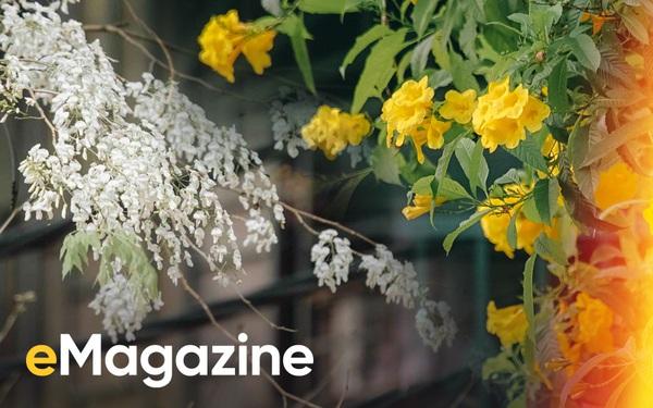 Hà Nội, Sài Gòn những ngày giao mùa: Hoa bay rợp trời làm lòng mình dịu lại