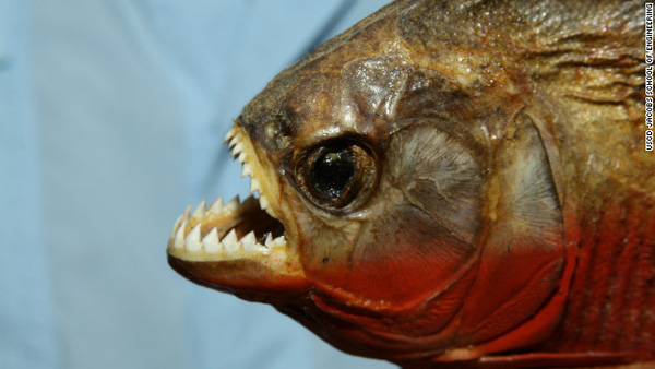 piranha-04459