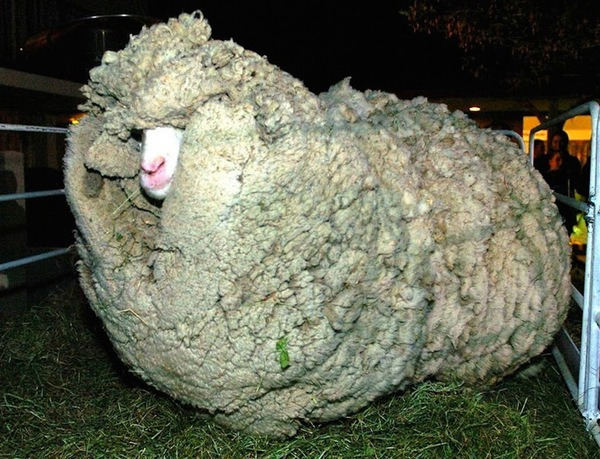 shrek-the-sheep-36-ac144