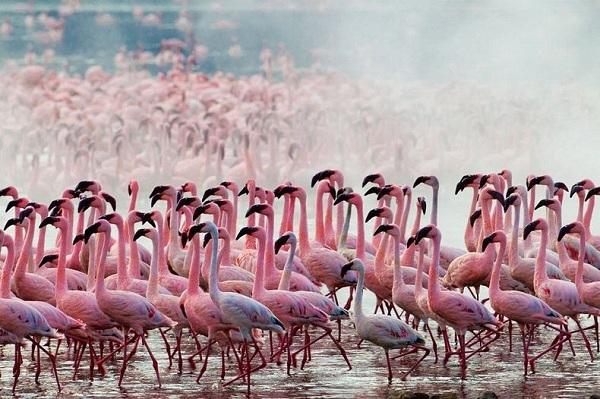 Những hình ảnh hồng hạc bay lượn đẹp tuyệt trần 1