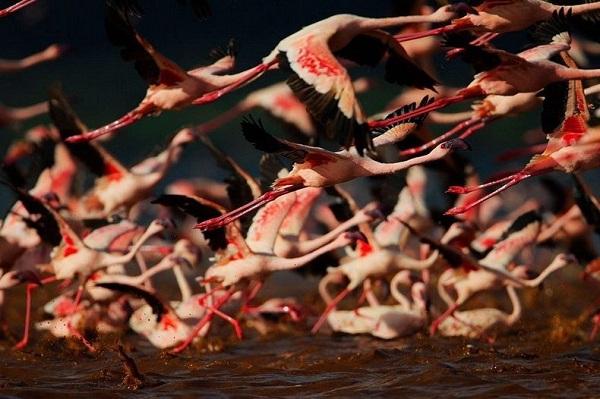 Những hình ảnh hồng hạc bay lượn đẹp tuyệt trần 9