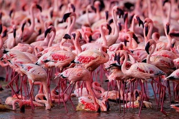 Những hình ảnh hồng hạc bay lượn đẹp tuyệt trần 4
