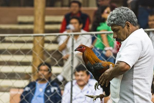Chứng kiến cảnh chọi gà đẫm máu ở Peru 3