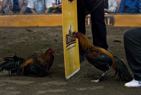 Chứng kiến cảnh chọi gà đẫm máu ở Peru 4