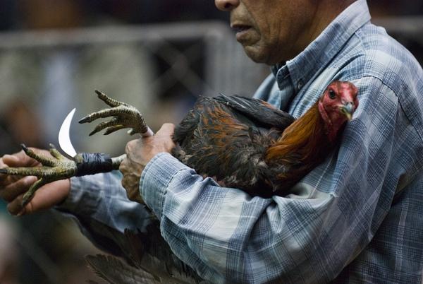 Chứng kiến cảnh chọi gà đẫm máu ở Peru 6