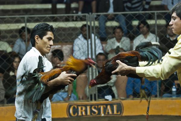 Chứng kiến cảnh chọi gà đẫm máu ở Peru 8