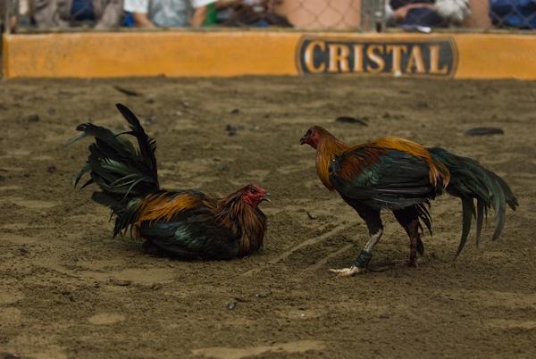 Chứng kiến cảnh chọi gà đẫm máu ở Peru 11