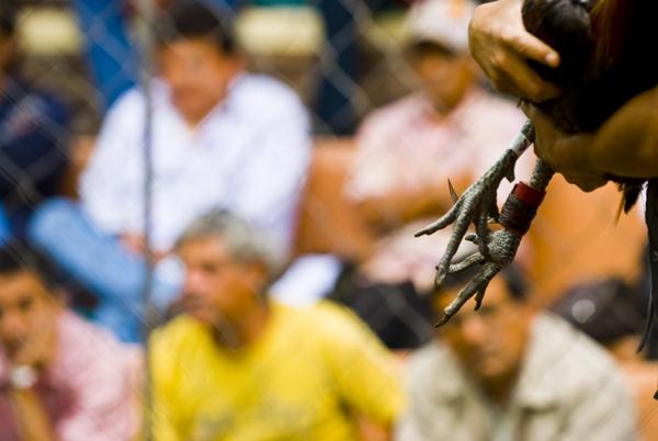 Chứng kiến cảnh chọi gà đẫm máu ở Peru 13