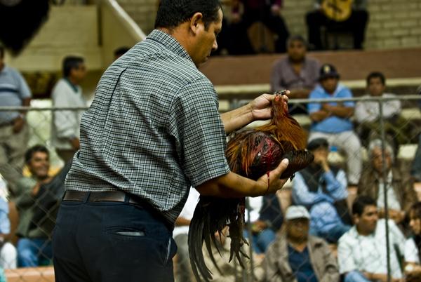 Chứng kiến cảnh chọi gà đẫm máu ở Peru 15