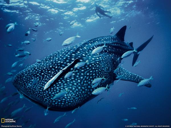 whale-shark-australia-e496a.jpg
