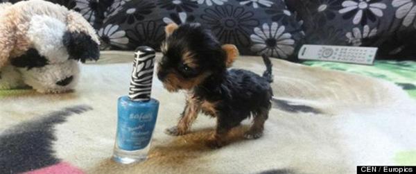 Chú chó tí hon nhỏ hơn điện thoại di động 3