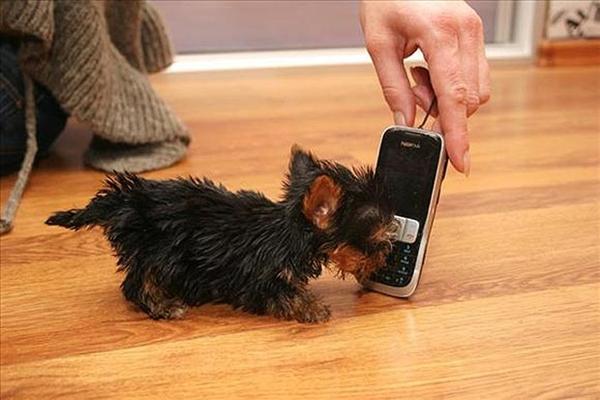 Chú chó tí hon nhỏ hơn điện thoại di động 1
