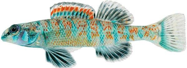 Loài cá nước ngọt mang họ của Tổng thống Obama 1