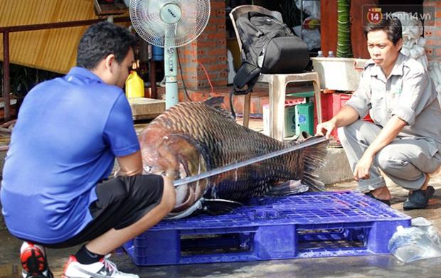 Cá hô nặng 120kg từ Biển Hồ được đưa về phục vụ đại gia Sài Gòn - Ảnh 2.