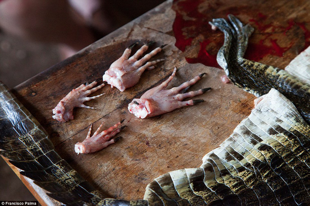 Đằng sau những đôi giày da thời thượng là cả một quá trình lột da cá sấu sống rùng rợn - Ảnh 10.