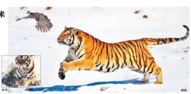 Không chỉ trẻ em thừa cân mới là vấn nạn, ngay đến hổ Trung Quốc cũng đang bị béo phì rồi đây - Ảnh 9.