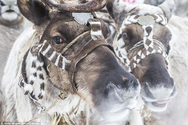 Theo chân những người thợ săn ở Siberia đi lột da chó sói - Ảnh 11.
