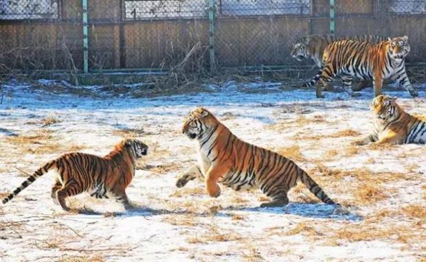 Không chỉ trẻ em thừa cân mới là vấn nạn, ngay đến hổ Trung Quốc cũng đang bị béo phì rồi đây - Ảnh 11.