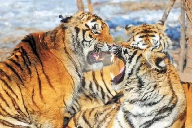 Không chỉ trẻ em thừa cân mới là vấn nạn, ngay đến hổ Trung Quốc cũng đang bị béo phì rồi đây - Ảnh 13.