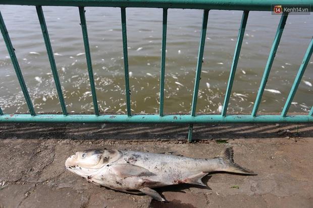 Những xác cá nặng hàng cân nổi lềnh bềnh - cảnh tượng đầy ám ảnh ở hồ Tây ngày hôm nay! - Ảnh 5.