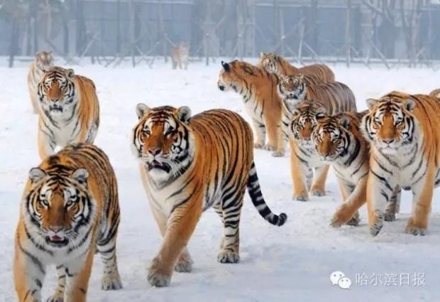 Không chỉ trẻ em thừa cân mới là vấn nạn, ngay đến hổ Trung Quốc cũng đang bị béo phì rồi đây - Ảnh 19.
