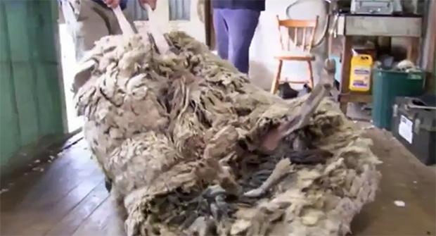 Con cừu dạt nhà đi bụi nhiều năm trời vì sợ bị cạo lông - Ảnh 4.
