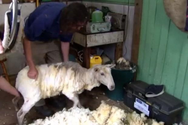 Con cừu dạt nhà đi bụi nhiều năm trời vì sợ bị cạo lông - Ảnh 5.