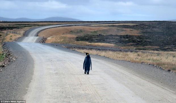 Chú chim cánh cụt cô đơn nhất thế giới một mình đi tìm đồng đội - Ảnh 1.