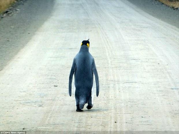 Chú chim cánh cụt cô đơn nhất thế giới một mình đi tìm đồng đội - Ảnh 2.