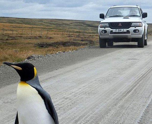 Chú chim cánh cụt cô đơn nhất thế giới một mình đi tìm đồng đội - Ảnh 5.