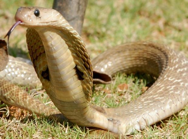 Chú chó dũng cảm hy sinh tính mạng để cứu gia đình chủ thoát khỏi 4 con rắn hổ mang bành - Ảnh 2.